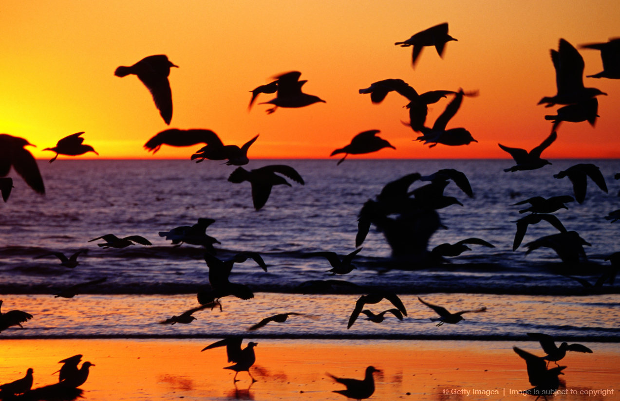 Seagulls on beach at sunset, Encinitas, Escondido, United States of America
