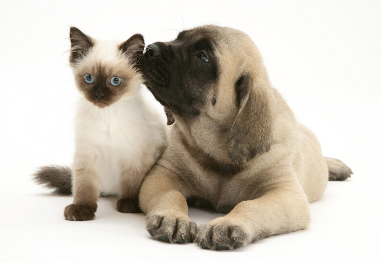 English Mastiff pup with young Birman-cross cat.