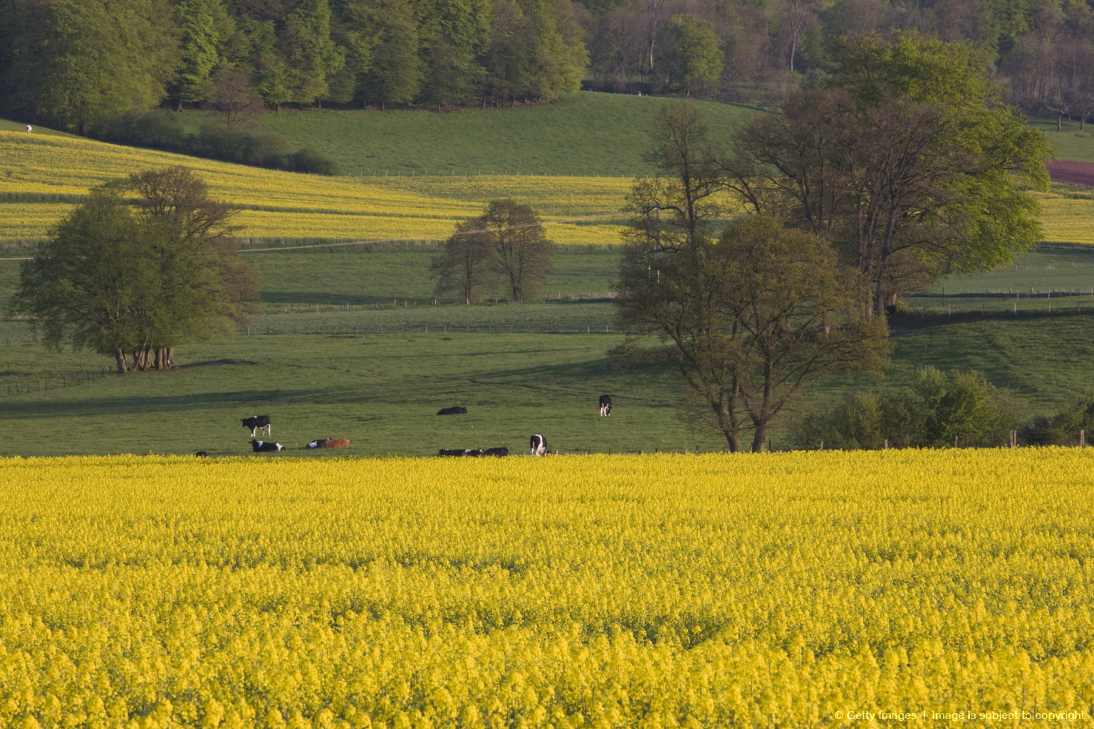 Mustard field by Grosbous, Sure River Valley, Luxembourg