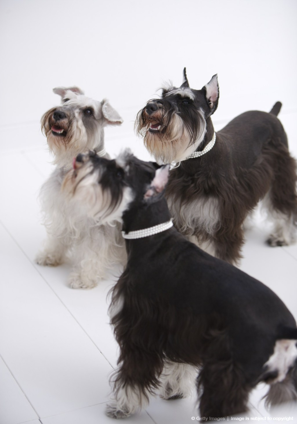 Miniature Schnauzers standing on floor