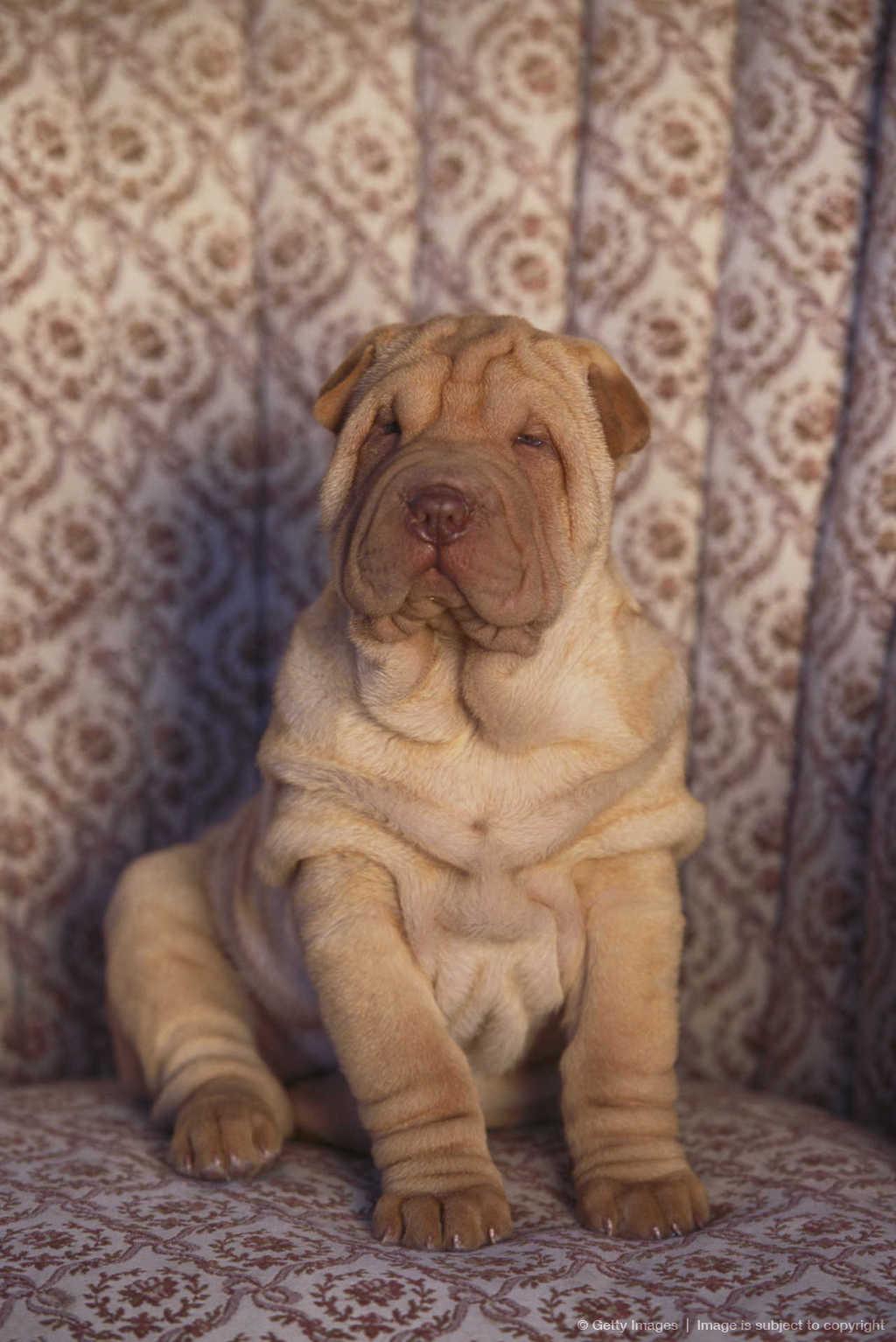 Shar pei temperament http www inspiritoo com cute shar pei puppies