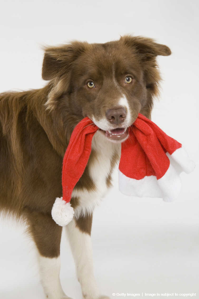 Australian Shepherd/Border Collie (Canis lupus familiaris) mixed breed with santa hat