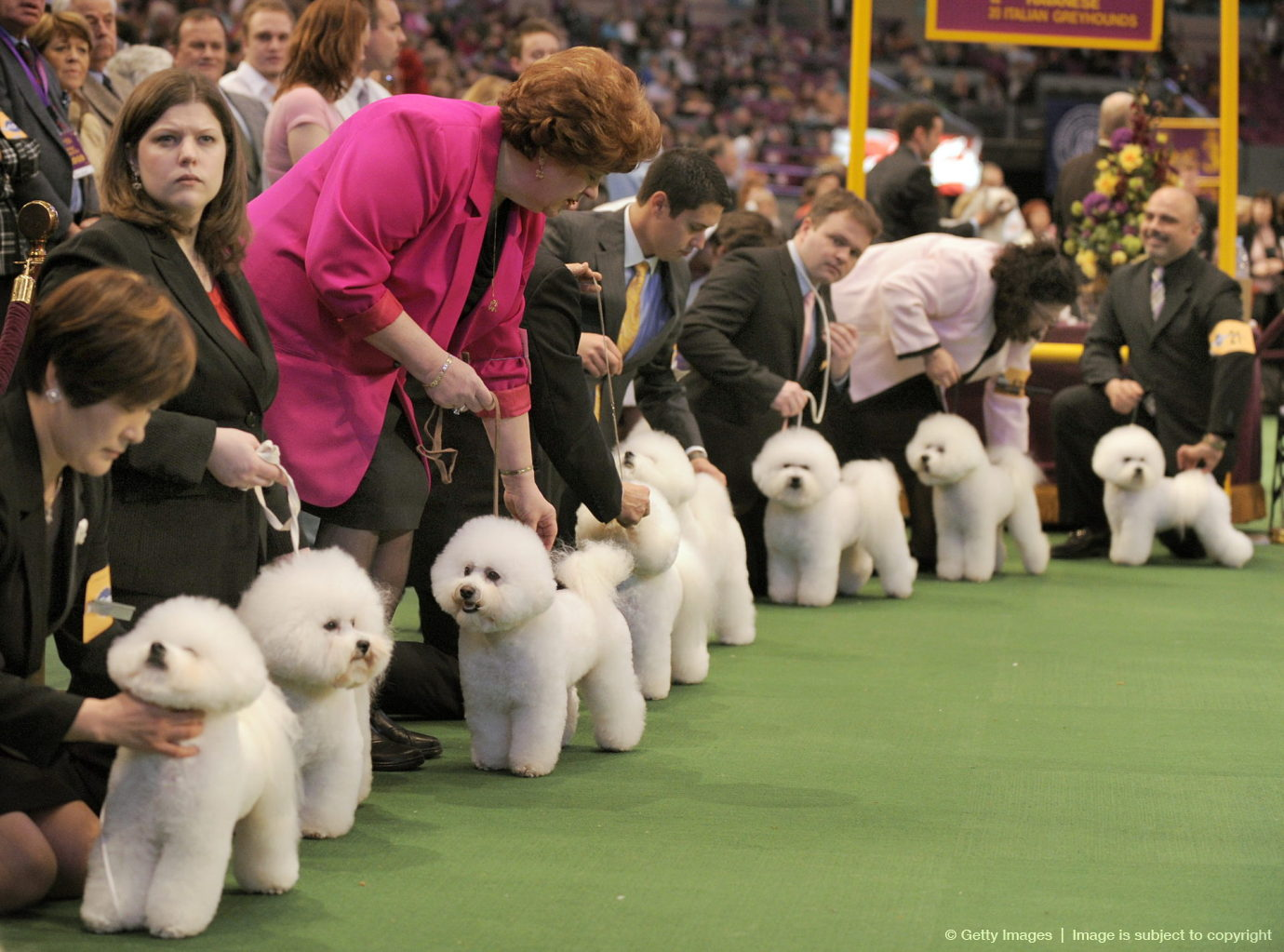 Bichon Frises line up in the ring during