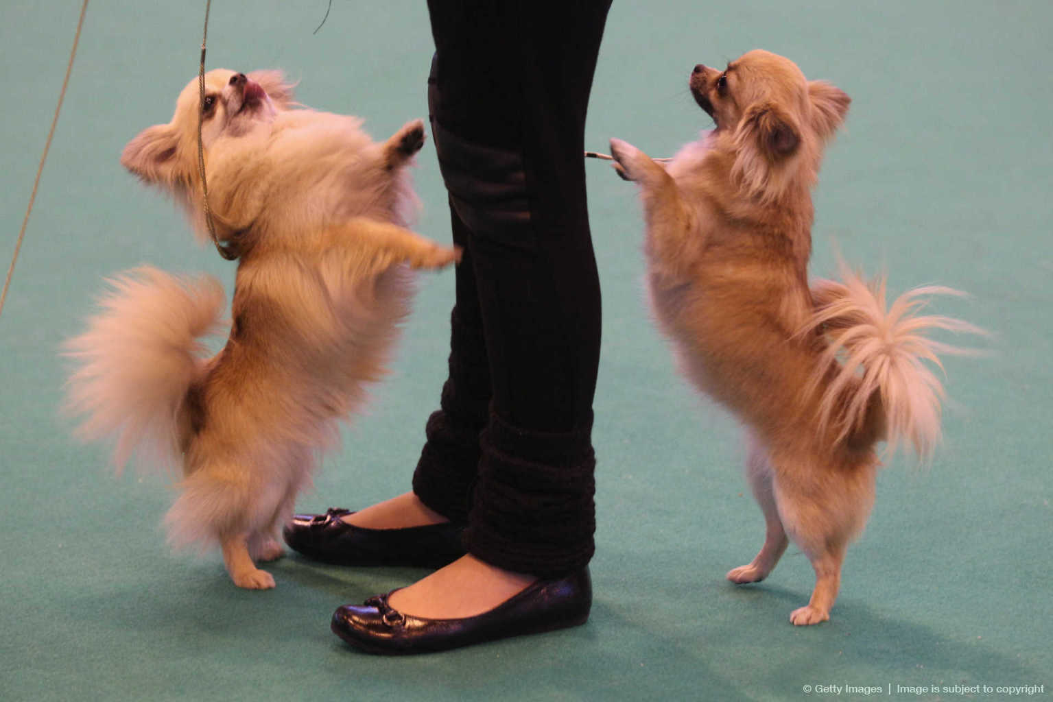 Best In Show Announced At Crufts